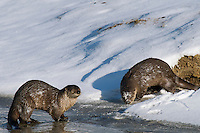Northern River Otter (Lontra canadensis) along edge of river.  Winter.