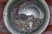Grauschnäpper, Grau-Schnäpper brütet in einer Laterne, Lampe, Küken, Jungvögel,  Nest, Muscicapa striata, Spotted Flycatcher, Le Gobemouche gris