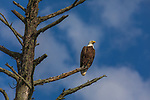 Bald eagle perched on a snag in northern Wisconsin.