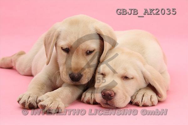 Kim, ANIMALS, fondless, photos(GBJBAK2035,#A#) Hunde, perros