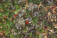 Schildflechte, Schild-Flechte, Blattflechte, mit Apothecien, Apothecium, Fruchtkörper, Peltigera spec., dog-lichen