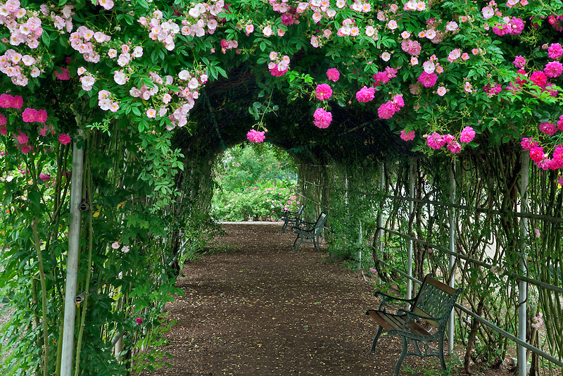 Tunnel through climbing roses. Heirloom Gardens. St. Paul, Oregon