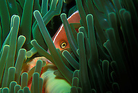 A pink anemone fish peaking through its home anemone in the Solomon Islands.