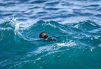 Southern sea otter or California sea otter Enhydra lutris nereis, eating among the waves, Monterey Bay National Marine Sanctuary, Monterey, California, USA, Pacific Ocean