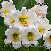 Gisela, FLOWERS, BLUMEN, FLORES, photos+++++,DTGK2334,#F#, EVERYDAY