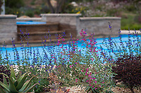 Summer-dry garden with penstemon and salvia using water capture irrigation from on site cistern; design Urban Water Group, Los Angeles