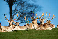 Milnthorpe, Cumbria, UK<br /> <br /> 19th November 2020<br /> <br /> Fallow deer stags make the most of a brief spell of fine weather and take a break during the rutting season at Milnthorpe, Cumbria. UK<br /> <br /> Credit: John Eveson/Alamy Live News