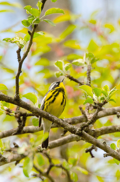 A portrait of the beautiful Magnolia Warbler perched in an apple tree in spring.