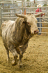 Bull at a rodeo, Deschutes County Fair and Rodeo, Central Oregon