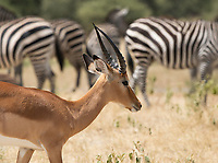 A Common Impala, Aepyceros melampus melampus, walks past a group of Grant's Zebras, Equus quagga boehmi, in Tarangire National Park, Tanzania