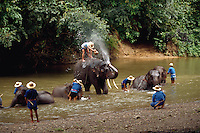 Trainers bathe the elephants at  Mae Sa Elephant Camp, Chaing Mai, Thailand