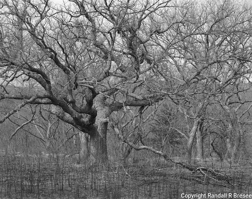 """""""Oak Trees"""" Konza Prairie Biological Station, Kansas<br /> <br /> The 8,600 acre Konza Prairie Biological Station was established as a field station for ecological research in the tallgrass prairie region of the Flint Hills in northeastern Kansas. Konza serves as both a prairie preserve and unique outdoor laboratory for scientific research. This photograph shows a stand of oak trees that are present on the prairie preserve."""