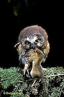 OW03-051z   Saw-whet owl - immature owl with jumping mouse prey - Aegolius acadicus