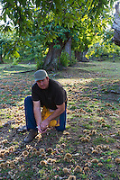 Europe/Provence-Alpes-Côte d'Azur/83/Var/Massif des Maures/Collobrières: Laurent Jartoux , castanéiculteur  Châtaigneraie Godissard récolte ses châtaignes