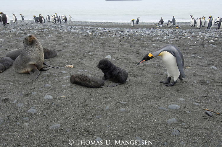 A king penguin looks at Antarctic fur seal pups on Prion Island, South Georgia.