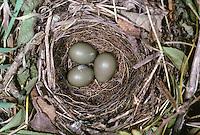 Nachtigall, Nest, Gelege mit Eiern, Luscinia megarhynchos, Nightingale, Rossignol philomèle