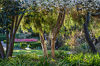Melaleuca stypheliodes white bark Prickly-leaved Paperbark tree in Blake Garden