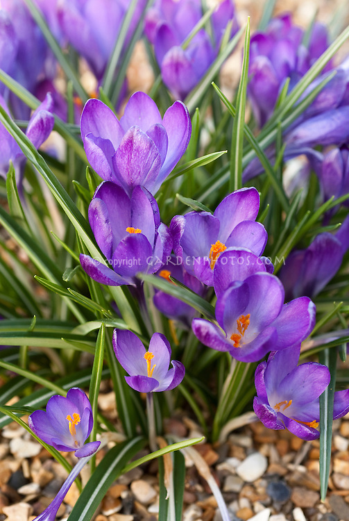 Crocus tommasinianus 'Ruby Giant' spring bulb flowers in bloom