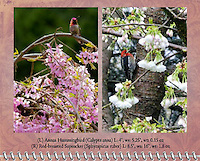"""April of the 2012 Birds of a Feather Calendar.  These photos are called """"Annas Hummingbird on cherry branch"""" and """"Red-breasted sapsucker"""" which shows a Red-breasted sapsucker (Sphyrapicus ruber) in cherry tree in the Spring with flower blossoms."""