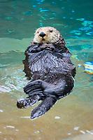 California Sea Otter (Enhydra lutris nereis) (c) (do)