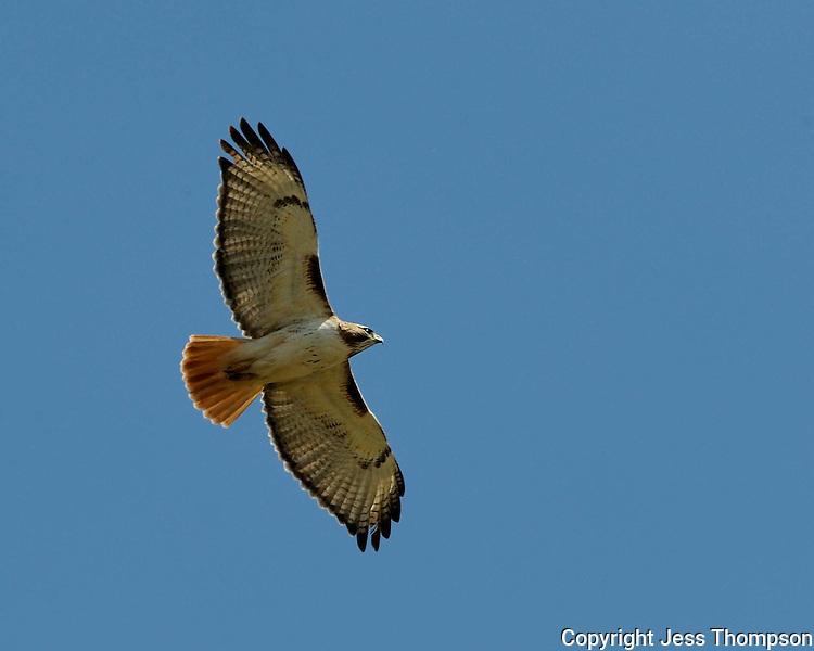 Red-tailed Hawk, Llano, Texas