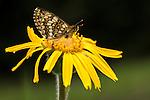 Fritillary butterfly (unknown sp.) fleeding on Mountain Arnica (Arnica montana). Nordtirol, Austrian Alps, Austria, July.