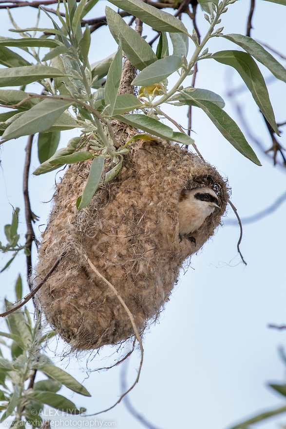 Penduline Tit (Remiz pendulinus) in nest. Danube Delta, Romania. May.