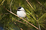 Black-capped chickadee perched in a pine tree in northern Wisconsin.