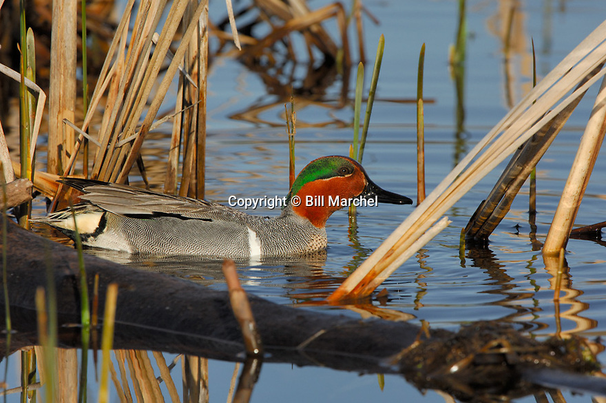 00310-016.05 Green-winged Teal Duck (DIGITAL) male is on the water of cattail marsh typical of species.  H4R1