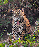 IT'S MICK JAGUAR (See Main Image):  This big cat could be 'Mick Jaguar' as it yawns and sticks its tongue out like the Rolling Stones front man.  The three year old jaguar caught the eye of a waiting photographer as it took a massive inhalation of breath in the Pantanal, Brazil.<br /> <br /> Amateur photographer Tuomas Kirjavainen, from Finland, said the yawn was not actually a sign of tiredness but the male was actually getting as much oxygen into its body in readiness for hunting.  SEE OUR COPY FOR DETAILS.<br /> <br /> Please byline: Tuomas Kirjavainen/Solent News<br /> <br /> © Tuomas Kirjavainen/Solent News & Photo Agency<br /> UK +44 (0) 2380 458800