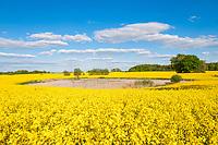 Feld mit Raps (Brassica napus) im Boitzenburger Land, Uckermark, Brandenburg, Deutschland
