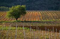 Europe/France/Midi-Pyrénées/46/Lot/Vallée du Lot/Vignoble de Cahors/Env d'Albas: Le vignoble