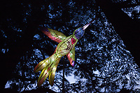 Paper Bird Lantern in Pine Forest at Night, Washington State, WA, USA.