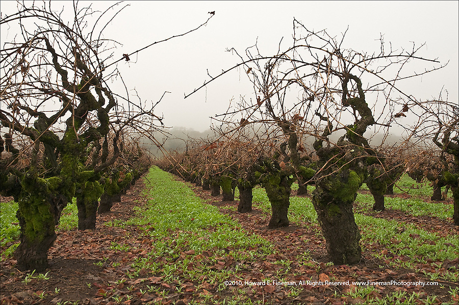 Old vines in Sonoma adjusting to onset of winter