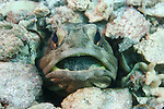 Male Finespot Jawfish brooking eggs in LaPaz Mexico
