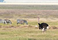 Male Common Ostrich, Struthio camelus, with Grant's Zebras, Equus quagga boehmi. Ngorongoro Crater, Ngorongoro Conservation Area, Tanzania