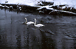 2507  Winter on the Firehole - Trumpeter Swans (Cygnus buccinator) Yellowstone National Park, WY..#PRINT-2507.00