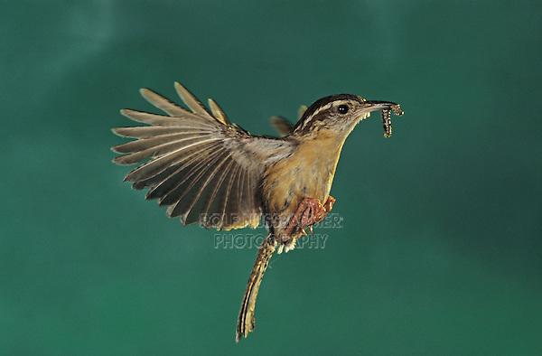 Carolina Wren, Thryothorus ludovicianus, adult in flight, Cameron County, Rio Grande Valley, Texas, USA