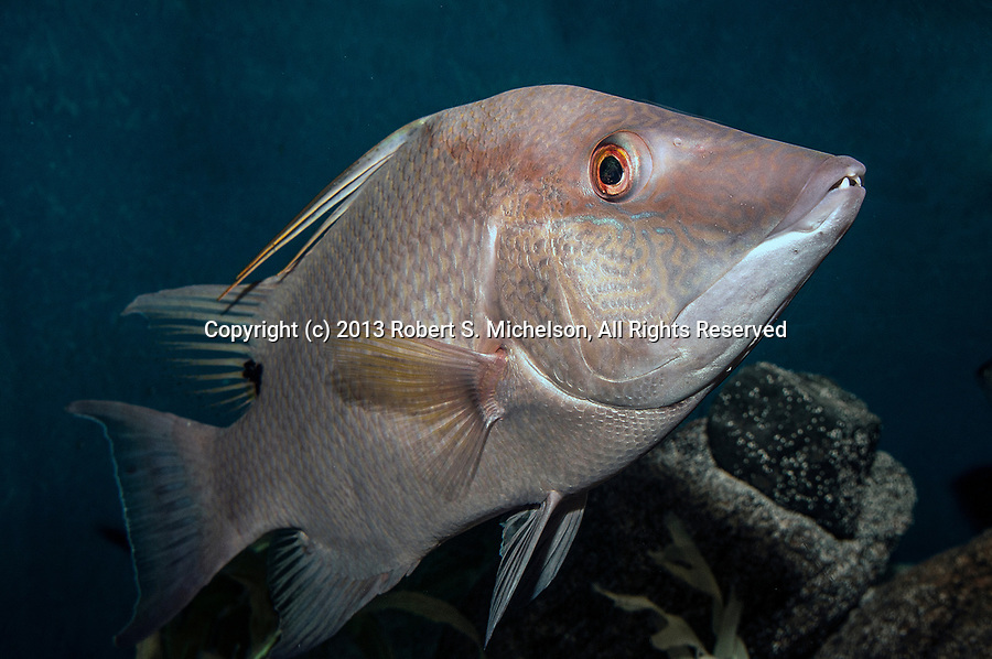 Rooster hogfish swimming right head upward