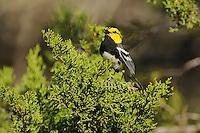 Golden-cheeked Warbler (Dendroica chrysoparia), male singing on Mountain Cedar (Juniperus ashei), Friedrich Wilderness Park, San Antonio, Hill Country, Central Texas, USA