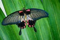 Papiliondae papilio butterfly on palm leaf in Costa Rica