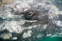 gray whale, Eschrichtius robustus, eye, Scammons Lagoon, Baja California, Mexico, Pacific Ocean