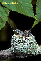 HU10-117x  Ruby-throated Hummingbird - young at nest -  Archilochus colubris