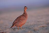 A female Greater Prairie-Chicken (Tympanachus cupido) visits a lek at sunrise. Ft. Pierre National Grassland, South Dakota. April.