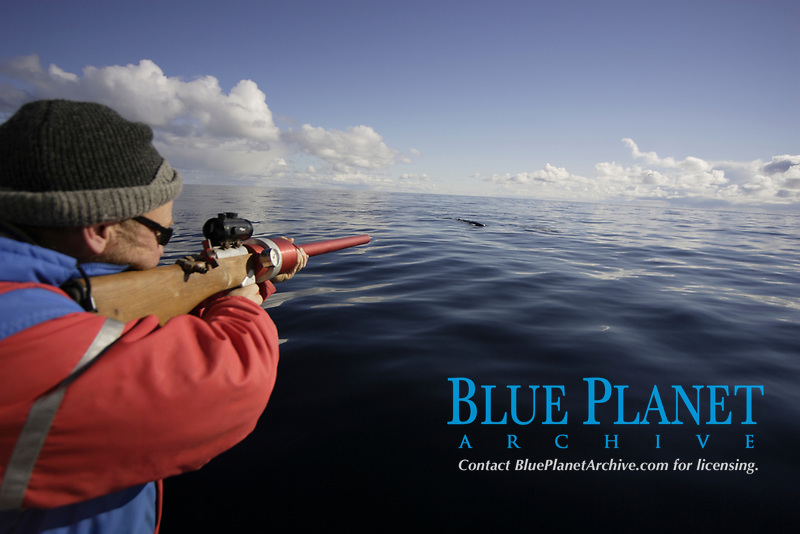 Researcher aiming ARTS Aerial Rocket tagging System rifle at Fin Whale Balaenoptera physalus to mount Radio tag Spitsbergen Arctic Norway North Atlantic