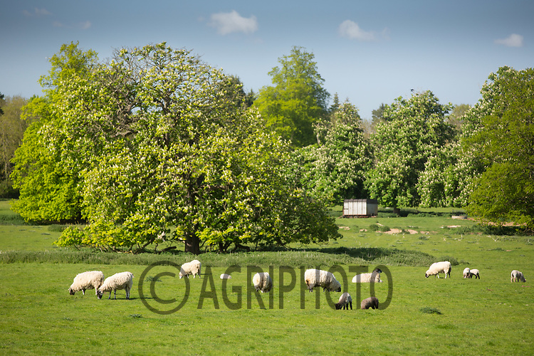Sheep grazing in parkland <br /> Picture Tim Scrivener 07850 303986<br /> ….covering agriculture in the UK….