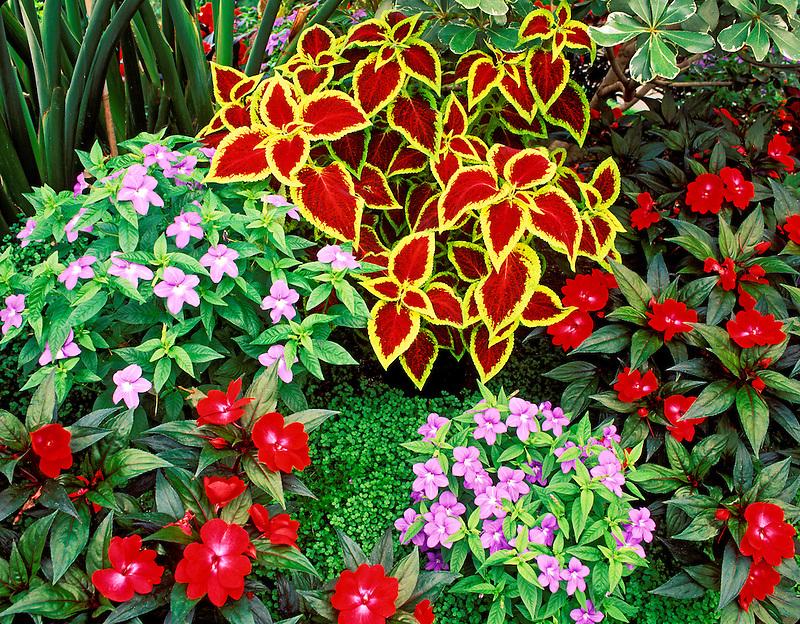 V00457M.tif   Impatiense and colius. Gaiser Conservatory. Manito Park, Spokane, Washington