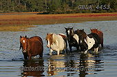 Bob, ANIMALS, REALISTISCHE TIERE, ANIMALES REALISTICOS, horses, photos+++++,GBLA4453,#a#, EVERYDAY