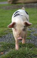 Gloucester Old Spot piglets.