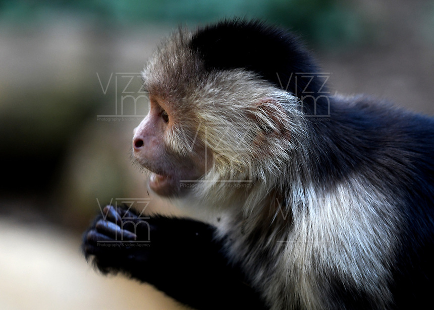 CALI - COLOMBIA - 27 - 09 - 2017: Mono Capuchino (Cebus Capucinus), especie de mono en el Zoologico de Cali, en el Departamento del Valle del Cauca.  / Capuchin Monkey (Cebus Capucinus), a monkey species in the Cali Zoo, in the Department of Valle del Cauca. / Photo: VizzorImage / Luis Ramirez / Staff.